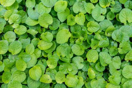 Viola organic green leaves texture