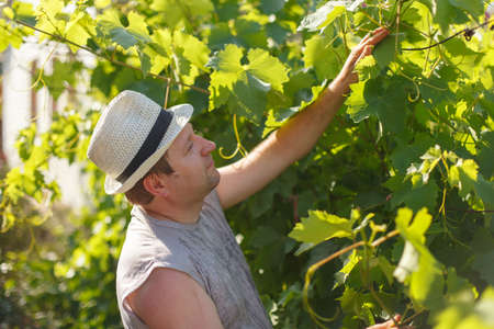 Vine grower is checking white grape in the vineyard by sunny weather on sunset