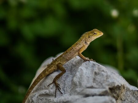 saurian: lizard sitting on rock in the natural Stock Photo