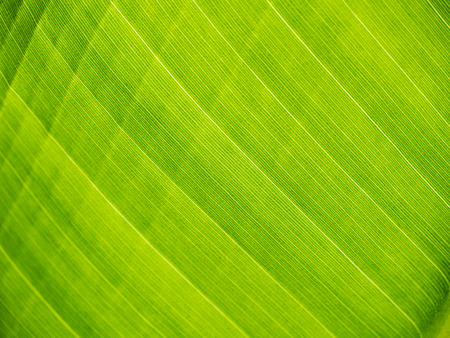 close   up: green banana leaf close up