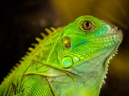 lagartija: Cierre de la iguana verde en el parque zool�gico de Dusit, Bangkok, Tailandia Foto de archivo