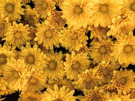 herbera: Background from yellow Gerbera flower