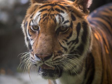 ot: close up ot face of tiger Stock Photo