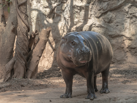 pigmy: Pygmy hippos are smaller cousins of the hippopotamus