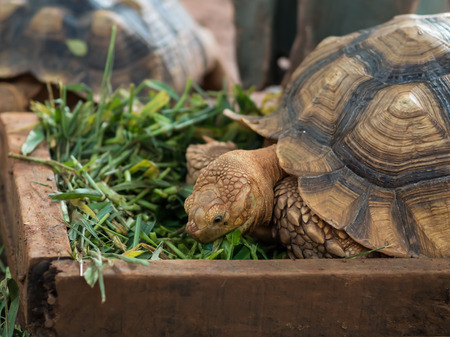 close up of sulcata tortise eating grass Stock Photo