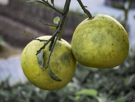 It is usually pale green to yellow when ripe, with sweet white (or, more rarely, pink or red) flesh and very thick albedo