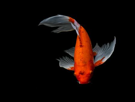 koi: Beautiful colorful fancy carp fish swimming in the pond