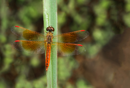 Red dragonfly sitting on the green leaves, top view Imagens