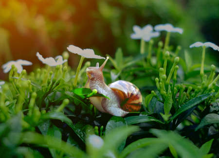 snail on fresh leaf in the morning. burgundy snail (Helix, escargot) with leaf in a natural environment