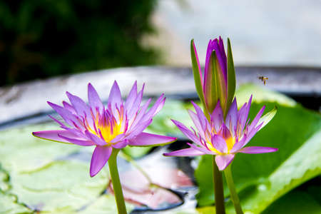 clay pot: Water Lily flowers in clay pot Stock Photo