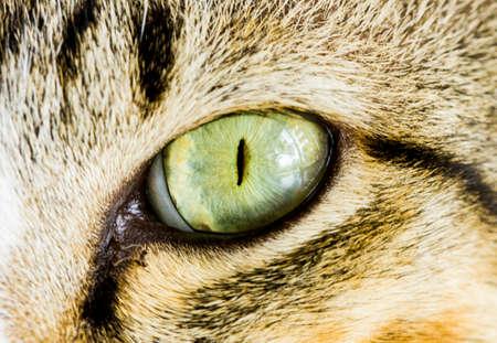 cat eye: Asian cat eye close up