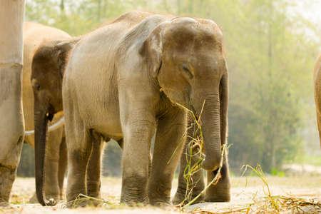 asian elephant: Baby Asian elephant eating grass in Elephant sanctuary, Thailand