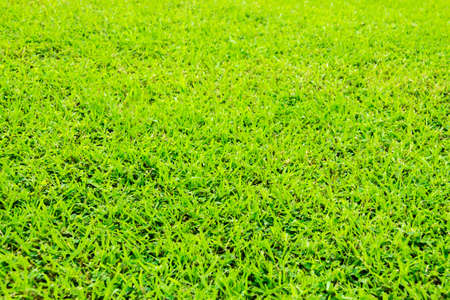 meadowland: Close up green grass background