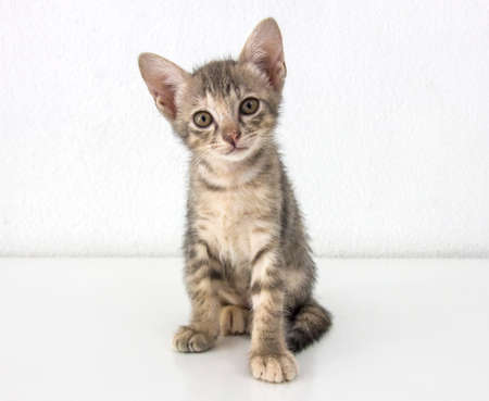 aloneness: Gray short hair kitten sitting isolated on white cement wall background and white floor Stock Photo