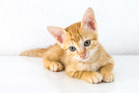aloneness: Orange short hair kitten sitting isolated on white cement wall background and white floor