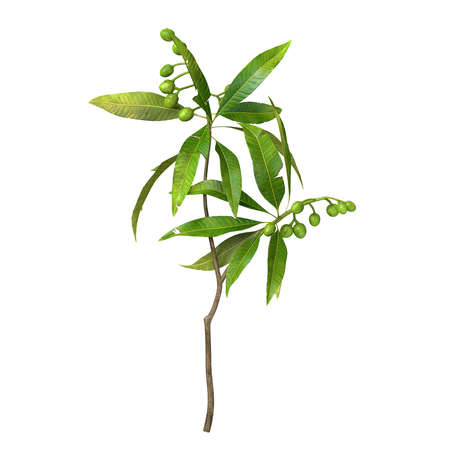 Olive branch with leaves isolated on white background with CLIPPING PATH, 3d rendering Zdjęcie Seryjne