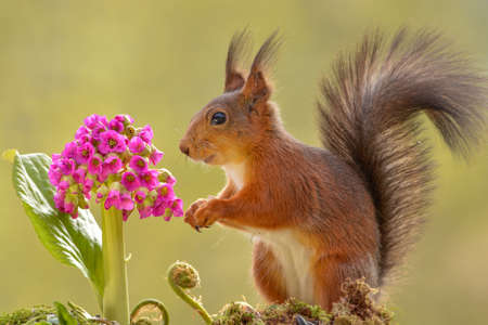 red squirrel with the flower Bergenia