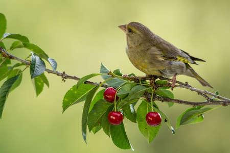 animal limb: green-finch standing on cherry branch