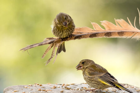 greenfinch: green finch on a owl feather watching another green finch beneath him standing in the middle of seeds