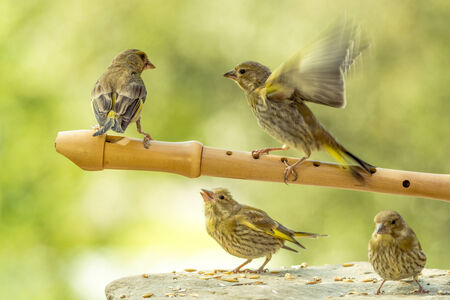 greenfinch: green finches on a flute and under it Stock Photo
