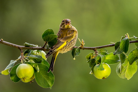 greenfinch: green-finch standing on a branch with apples Stock Photo