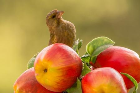 greenfinch: green-finch standing between apples Stock Photo