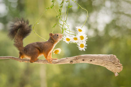 female red squirrel standing on tree branch with flowers