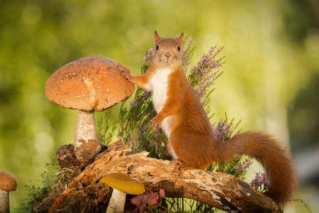 나무 줄기에 버섯으로 서있는 여성 붉은 다람쥐 스톡 콘텐츠