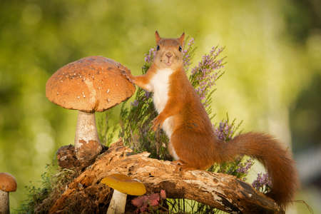 female red squirrel standing with mushrooms on tree trunk