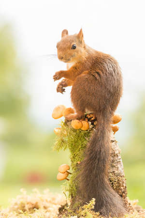 female red squirrel standing on trunk with mushrooms