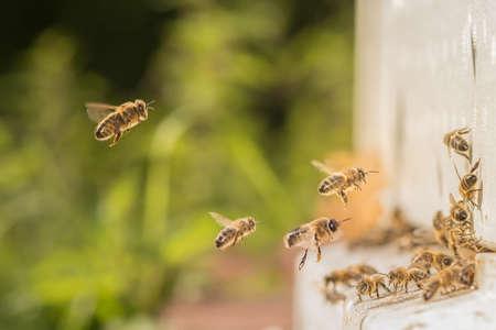abeja: abejas volando hacia la colmena de abejas