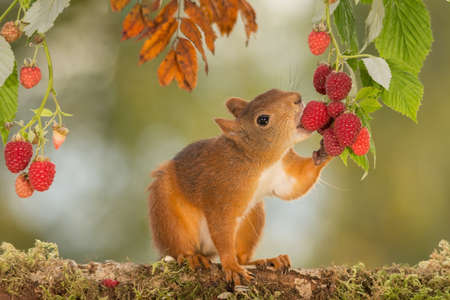 입에 딸기와 함께 서있는 붉은 다람쥐