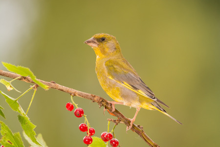 gree: gree finch standing on branch with red currant