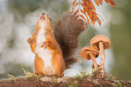 cute animals: red squirrel standing with mushroom Stock Photo