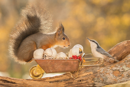 red squirrel standing on  a tree trunk with wheelbarrow, nuthatch and skulls