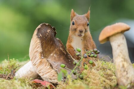red squirrel standing between and behind mushrooms