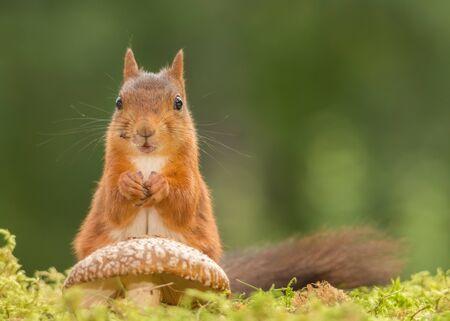 red squirrel is standing with mushroom