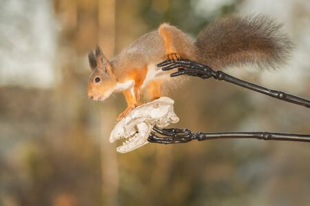 red squirrel standing between skeleton hands holding a skull