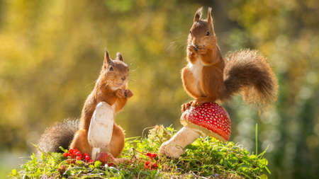 red squirrels standing on and with mushrooms