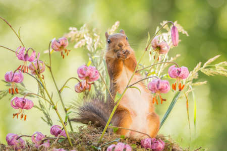female red squirrel standing with flowers Stock Photo