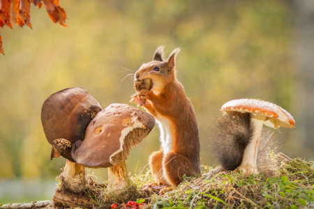 red squirrel is eating mushrooms Stock Photo