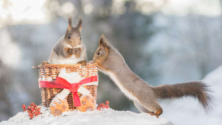 red squirrels with basket on snow