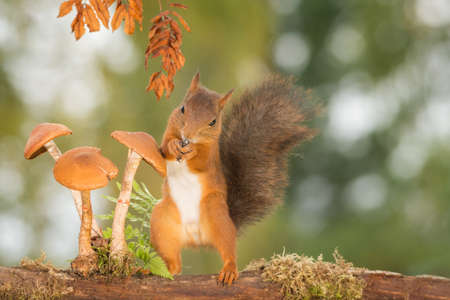 red squirrel standing with mushrooms Stock Photo