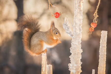 red squirrel standing between icicles