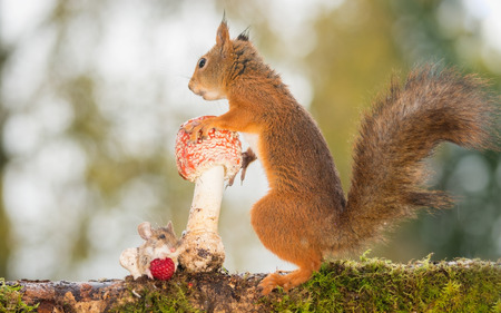 mouse: red squirrel standing with mushroom with mouse beneath Stock Photo