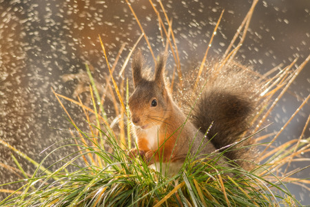 red squirrel standing between grass with rain Stock Photo