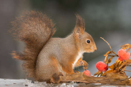 close up of red squirrel on ice with brier