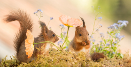 two young red squirrels standing behind and under a poppy flower
