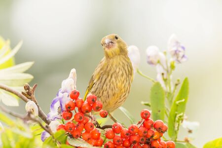 green finch standing on branch with red berries