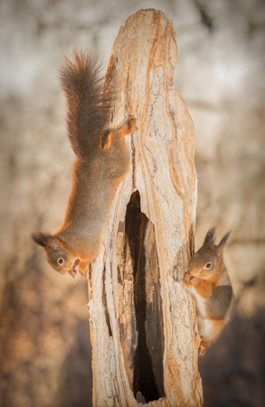 red squirrel hanging on tree trunk with another aside